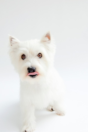 cute westie: white west highland terrier on white background Stock Photo