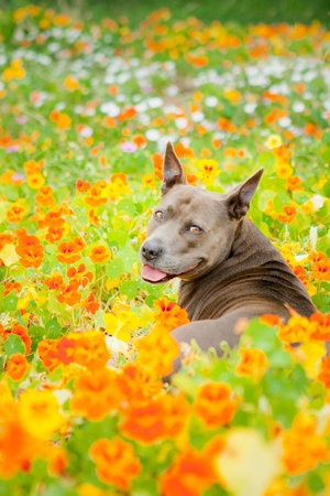 Blue Pit Bull in orange flower field