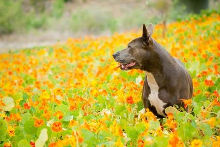 pet photography: Blue Pit Bull in orange flower field
