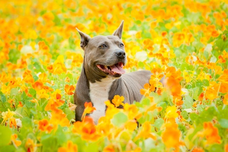 Blue Pit Bull in orange flower field Stock Photo - 13446193
