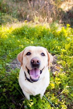 yellow Lab smiling Stock Photo