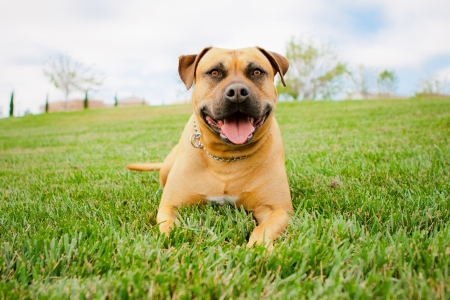 Tan American Staffordshire laying in grass Stock Photo
