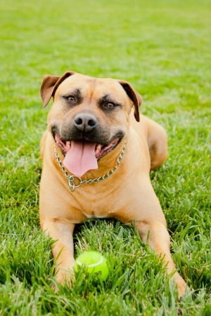 Tan American Staffordshire laying in grass with ball