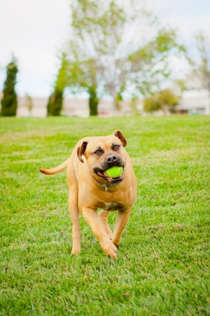 Tan American Staffordshire running in grass with ball in mouth