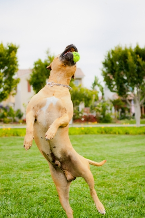 fetch: Tan American Staffordshire jumping to catch ball Stock Photo