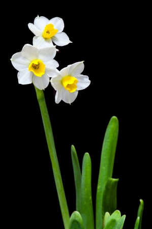 signifies: The flower that signifies the advent of spring  In China, people plant this flower for Chinese New Year a k a Spring Festival  The city of Zhangzhou in Fujian province is famous for this flower