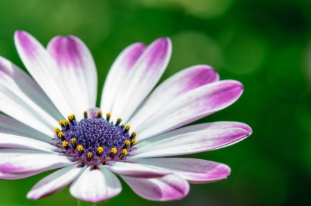 compositae: Asteraceae or Compositae  commonly referred to as the aster, daisy, or sunflower family , are an exceedingly large and widespread family of Angiospermae