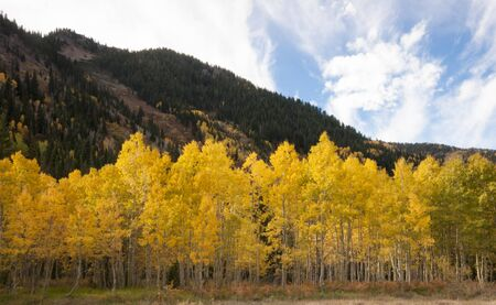 quaking aspen: Aspen grove, populus tremuloide, in fall with yellow leaves with mountains and blue sky in background