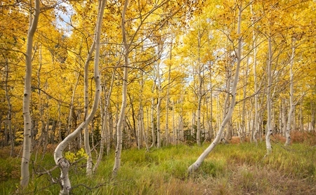 quaking aspen: Aspen grove, populus tremuloide, in fall with yellow leaves from close in