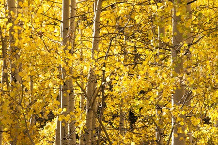 aspen grove: Aspen grove, populus tremuloide, in fall with yellow leaves from close in