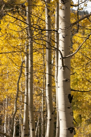 aspen grove: Aspen grove, populus tremuloide, in fall with yellow leaves vertical close in Stock Photo