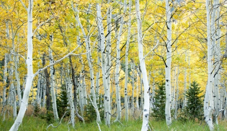 aspen leaf: Aspen grove in fall with yellow leaves from close in