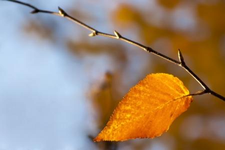 betula: Single birch leaf, Betula lenta, in fall macro