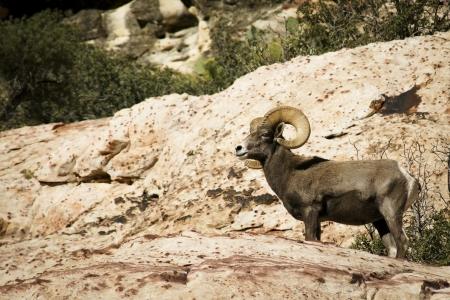 Desert bighorn sheep, Ovis canadensis nelsoni, at cliff s edge 版權商用圖片