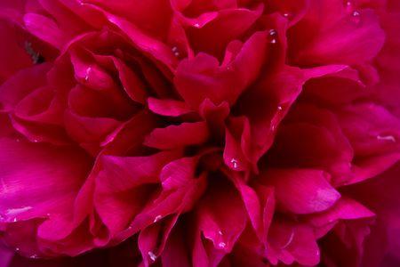 peony tree: Close-up di un vivace profonda peonia albero rosa che nasconde una spider Archivio Fotografico