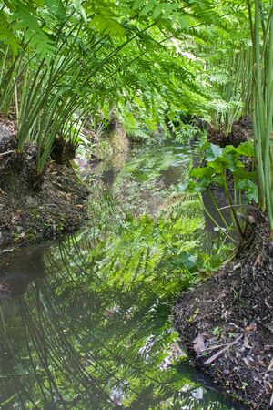 meandering: A meandering stream reflecting the ferns on the banks Stock Photo