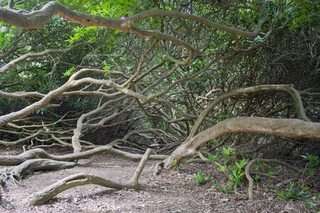 contorted: Gnarled and contorted roots of a rhodadendron shrub