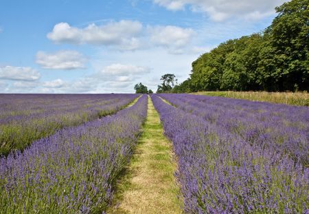 Rows of lavender plants in a field with blue & white cloud backdrop Stock Photo - 5137509