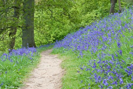 clearing the path: A country path weaving through spring woodland with a carpet of bluebells Stock Photo