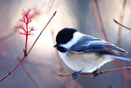 Chickadee 05 Stock Photo