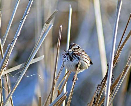northeast ohio: Fox Sparrow taken in Northeast Ohio in March 2009 Stock Photo