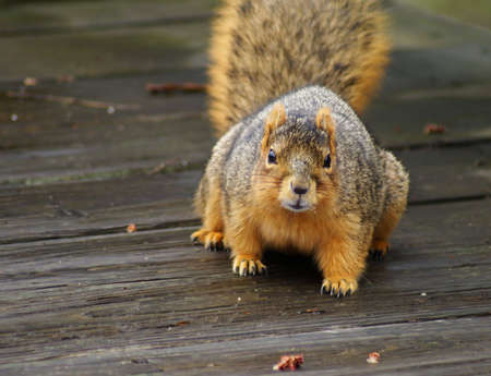 furred: Capture of a curious brown squirrel in early spring.