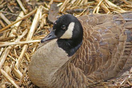 northeast ohio: A nesting female Canada Goose in a marsh in Northeast Ohio.  Taken April 2009. Stock Photo