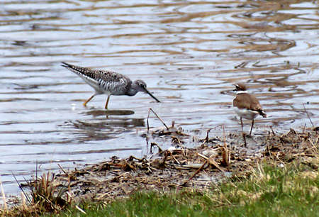 northeast ohio: A Lesser Yellowlegs Sandpiper and a Semipalmated Plover face off in a marshy pond. Stock Photo