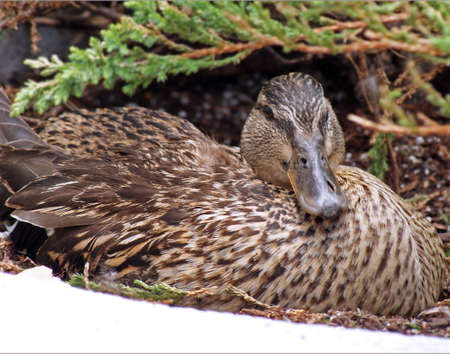 nesting: Female Mallard duck nesting Stock Photo