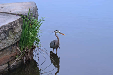 wading: Great Blue Heron Wading