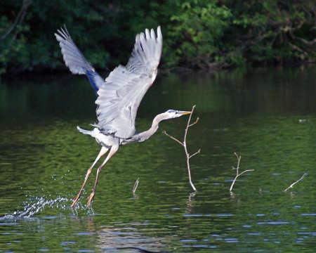 Great Blue Heron Taking Off photo