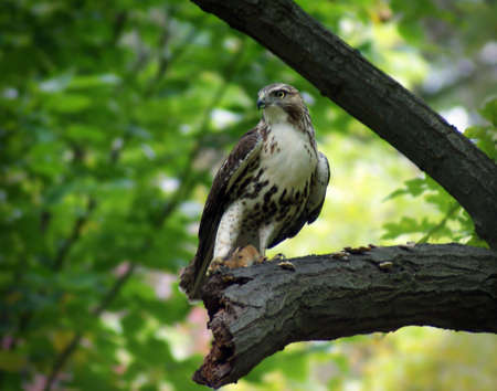 redtail: A Redtail Hawk has just captured a chipmunk for lunch.  Taken in the Shaker Nature Center.  Shaker Heights, OH Stock Photo