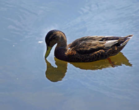 Female Mallard making a heart-shaped reflection in the water.
