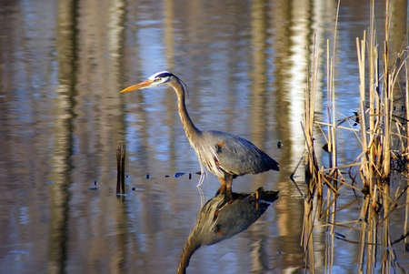 A Great Blue Heron wading in a marsh hunting for fish.