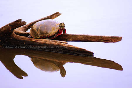 plastron: Painted Turtle Reflected Stock Photo