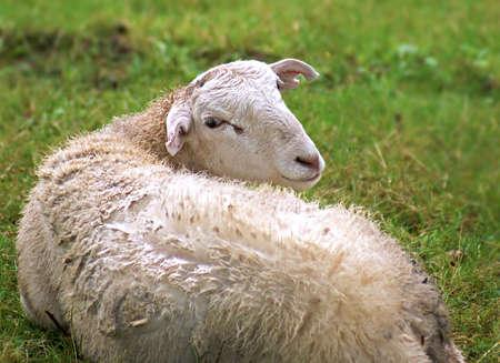 Pecore a riposo Archivio Fotografico - 14480558