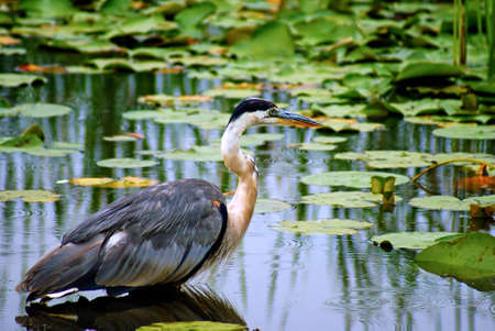 great blue heron: Great Blue Heron Wading in a Pond