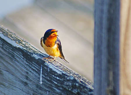 A Barn Swallow perchs on a wooden rail long enough to chirp out a morning cry.