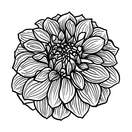 botanical illustration: Hand drawn Dahlia flower  Black and white, vector illustration