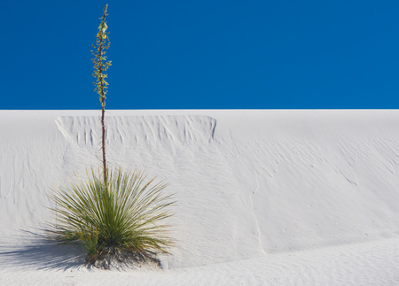 Solitary soaptree yucca plant growing from small sand dune under crystal blue sky at White Sands National Monument.