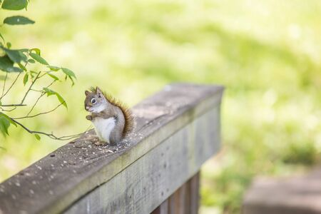 Small squirrel sitting on wooden rail outside, in front of bright blurred green background, eating crumbs and looking at the camera.