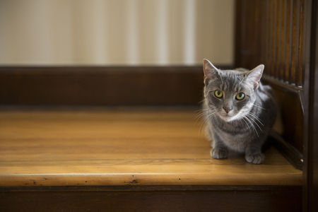 gray tabby: Gray tabby cat sitting on wooden landing staring at viewer Stock Photo