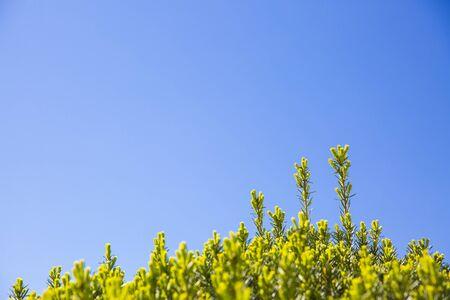 extending: Juniper sprigs extending from top of shrub into clear blue sky
