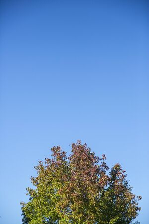 changing color: deep blue sky above the top of a tree with leaves changing color from green to red