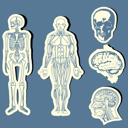 autopsy: Human anatomy  Vector medical illustration