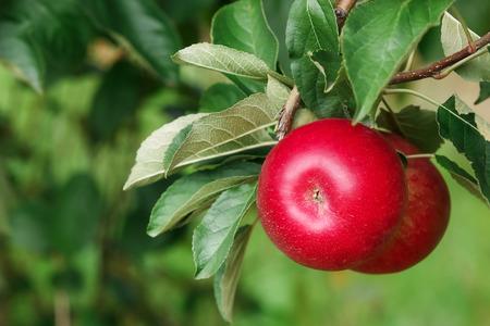 arbol de la vida: Rojas manzanas deliciosas brillantes que cuelgan de una rama de un �rbol en un huerto de manzanas. Enfoque selectivo. Copia espacio