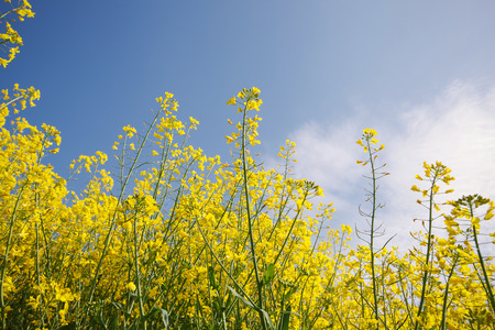 biodiesel: Oilseed Rape, Canola, Biodiesel Crop. Flowering oilseed rapeseed. Selective Focus of Canola Field