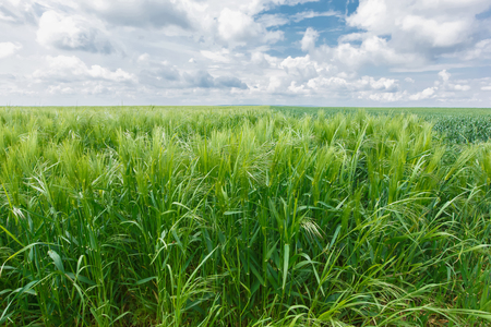haver veld: Haver Field. Landbouw gebied met groene haver in de lente seizoen. Lente landschap