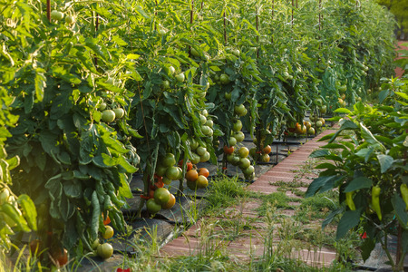 ripening: Tomatoes ripening in a garden. outdoor Stock Photo