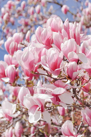 magnolia tree: Magnolia tree blossom. Blossoming of magnolia trees during spring. Close up, soft focus Stock Photo